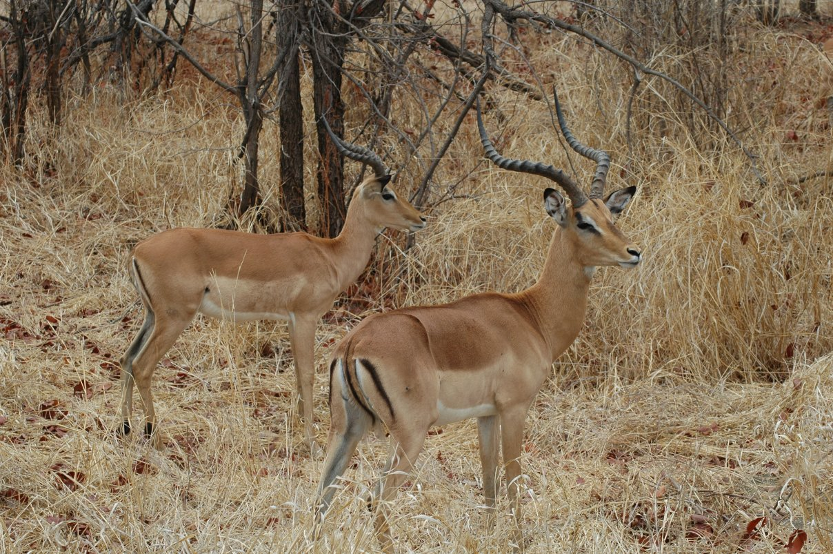 Two-male-impalas